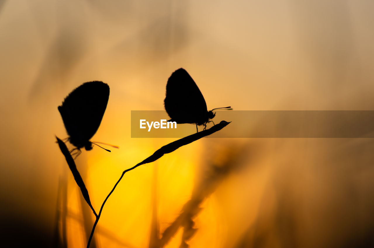 Close-up of silhouette butterflies on plant during sunset