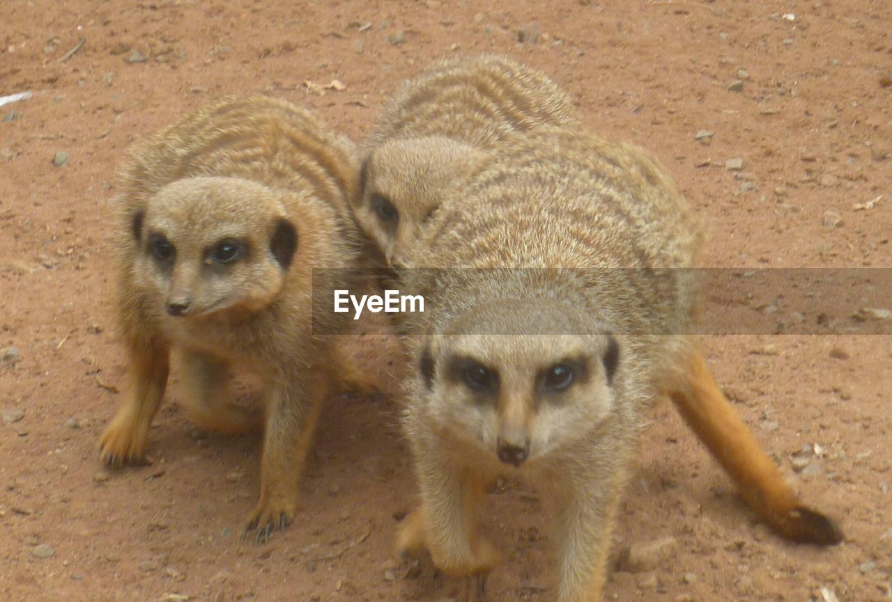 Close-Up Of Meerkats On Field
