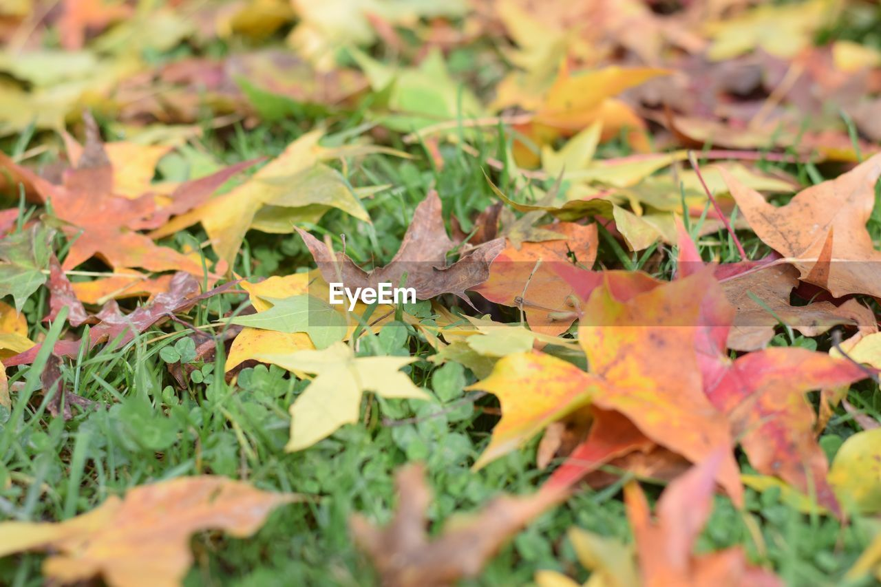 leaf, autumn, change, leaves, nature, maple leaf, selective focus, dry, beauty in nature, maple, fallen, outdoors, tranquility, no people, day, close-up