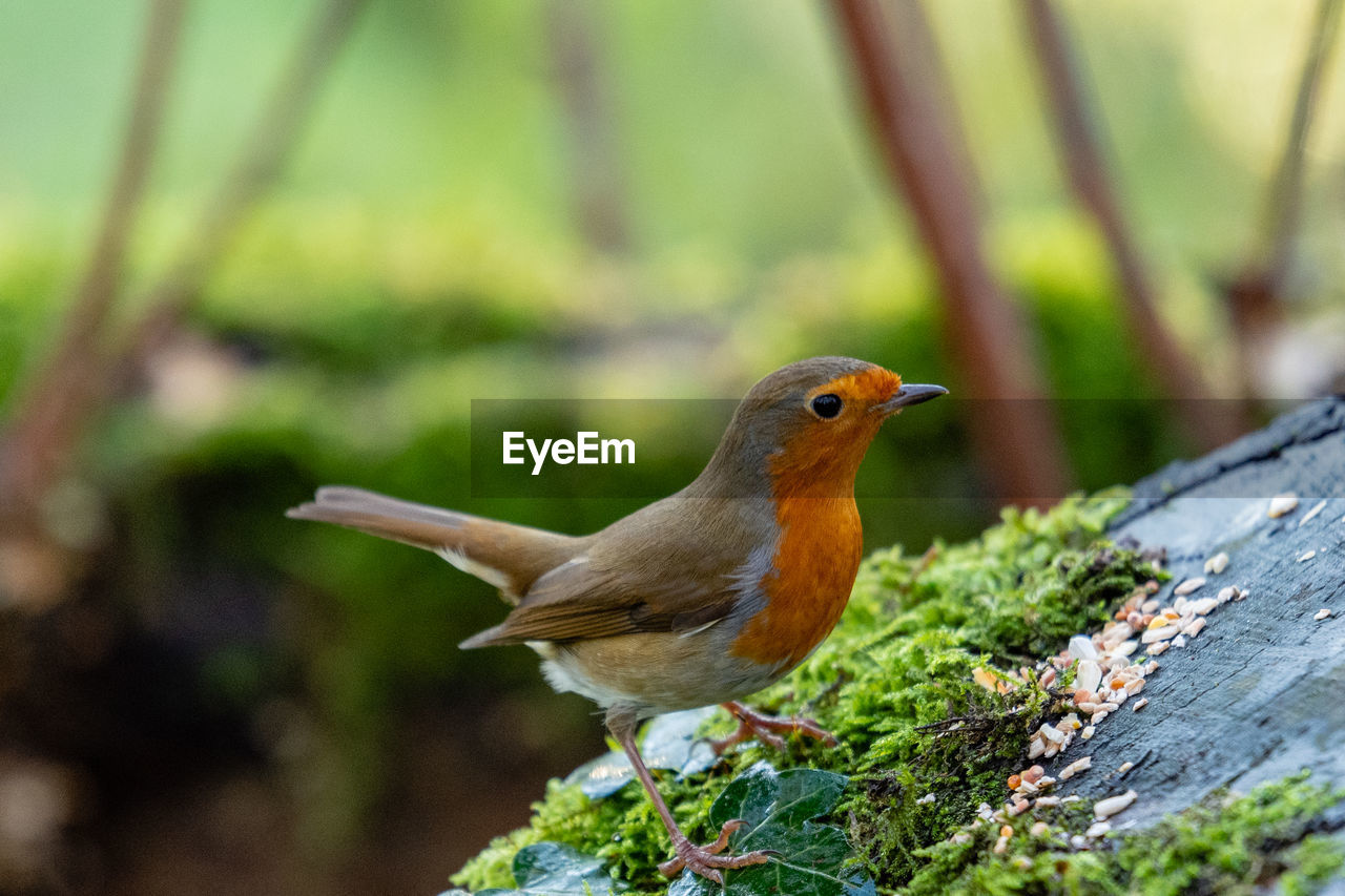 animal themes, bird, animal, vertebrate, animal wildlife, animals in the wild, one animal, robin, perching, day, focus on foreground, plant, no people, close-up, nature, selective focus, tree, outdoors, looking, wood - material