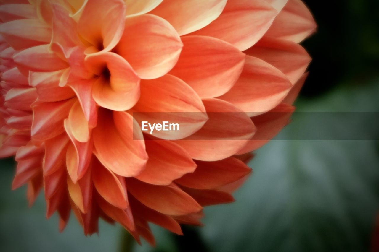 flower, petal, nature, beauty in nature, flower head, freshness, fragility, orange color, no people, plant, focus on foreground, growth, day, blooming, outdoors, dahlia, close-up, water