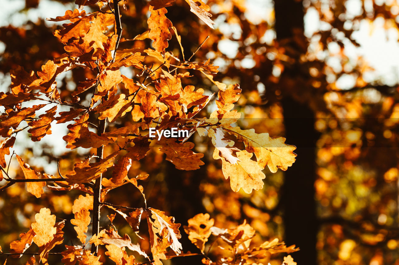 autumn, leaf, plant part, plant, focus on foreground, close-up, change, beauty in nature, nature, tree, no people, leaves, day, growth, outdoors, orange color, sunlight, vulnerability, tranquility, selective focus, maple leaf, autumn collection, natural condition