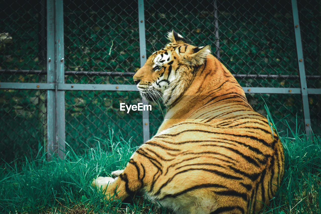 feline, tiger, cat, big cat, animal themes, mammal, animal wildlife, animal, one animal, carnivora, zoo, animals in captivity, animals in the wild, fence, no people, relaxation, endangered species, nature, cage, outdoors, undomesticated cat, whisker
