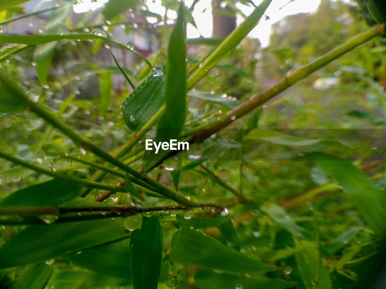 plant, growth, green color, plant part, leaf, beauty in nature, drop, nature, water, close-up, wet, day, no people, focus on foreground, tranquility, tree, outdoors, selective focus, rain, raindrop, leaves, blade of grass, dew, rainy season, purity, bamboo - plant