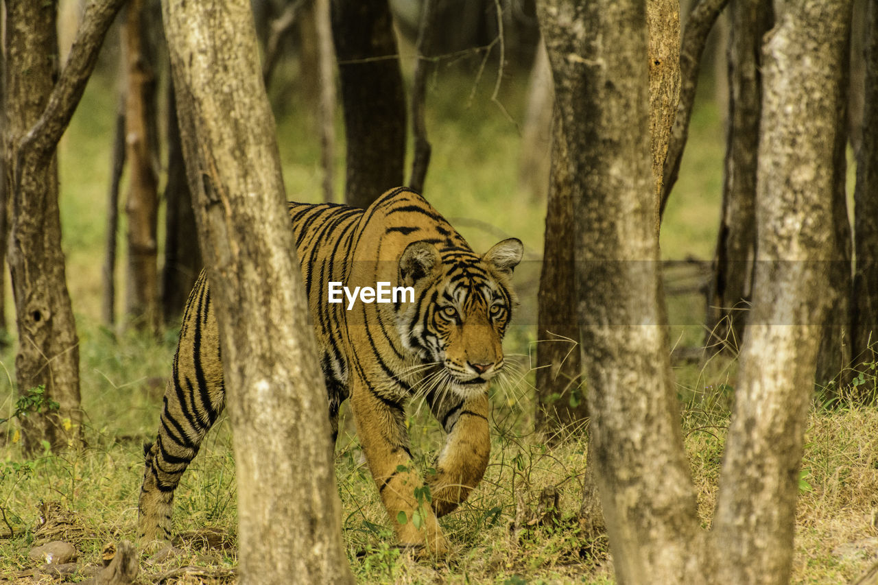 Tiger walking amidst trees in forest