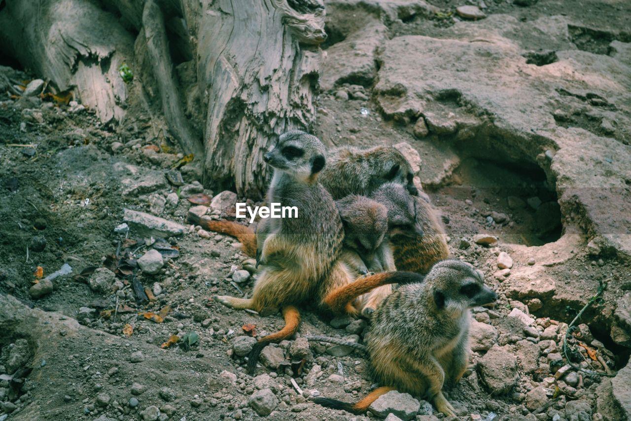 Meerkats At Zoo