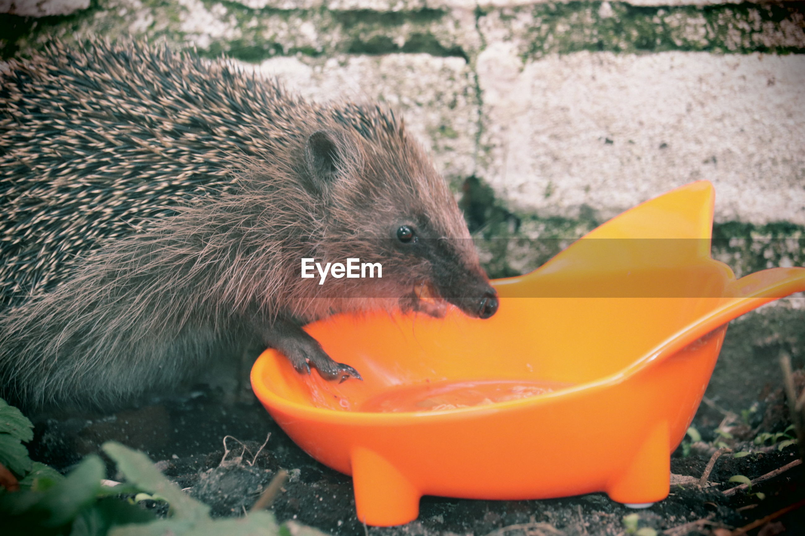 Close-up of  hedgehog  eating food