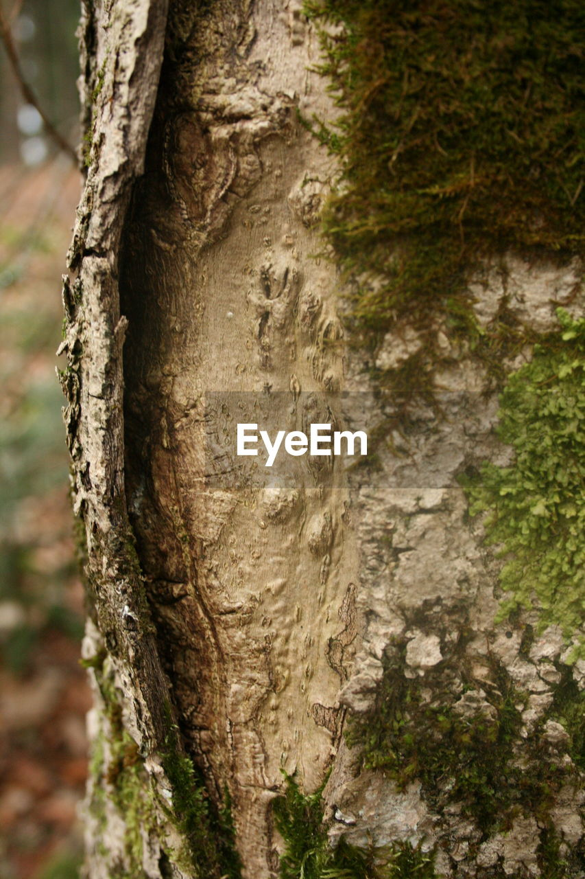 tree trunk, tree, textured, nature, day, no people, forest, close-up, outdoors, focus on foreground, growth, beauty in nature