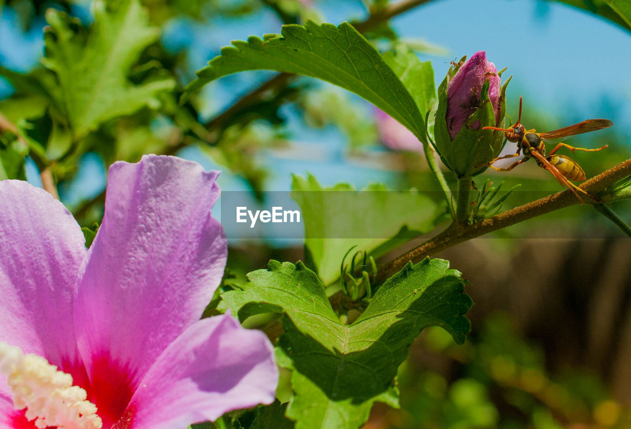 plant, flowering plant, flower, growth, beauty in nature, leaf, plant part, freshness, vulnerability, close-up, fragility, petal, nature, selective focus, green color, day, no people, flower head, pink color, inflorescence, outdoors, purple