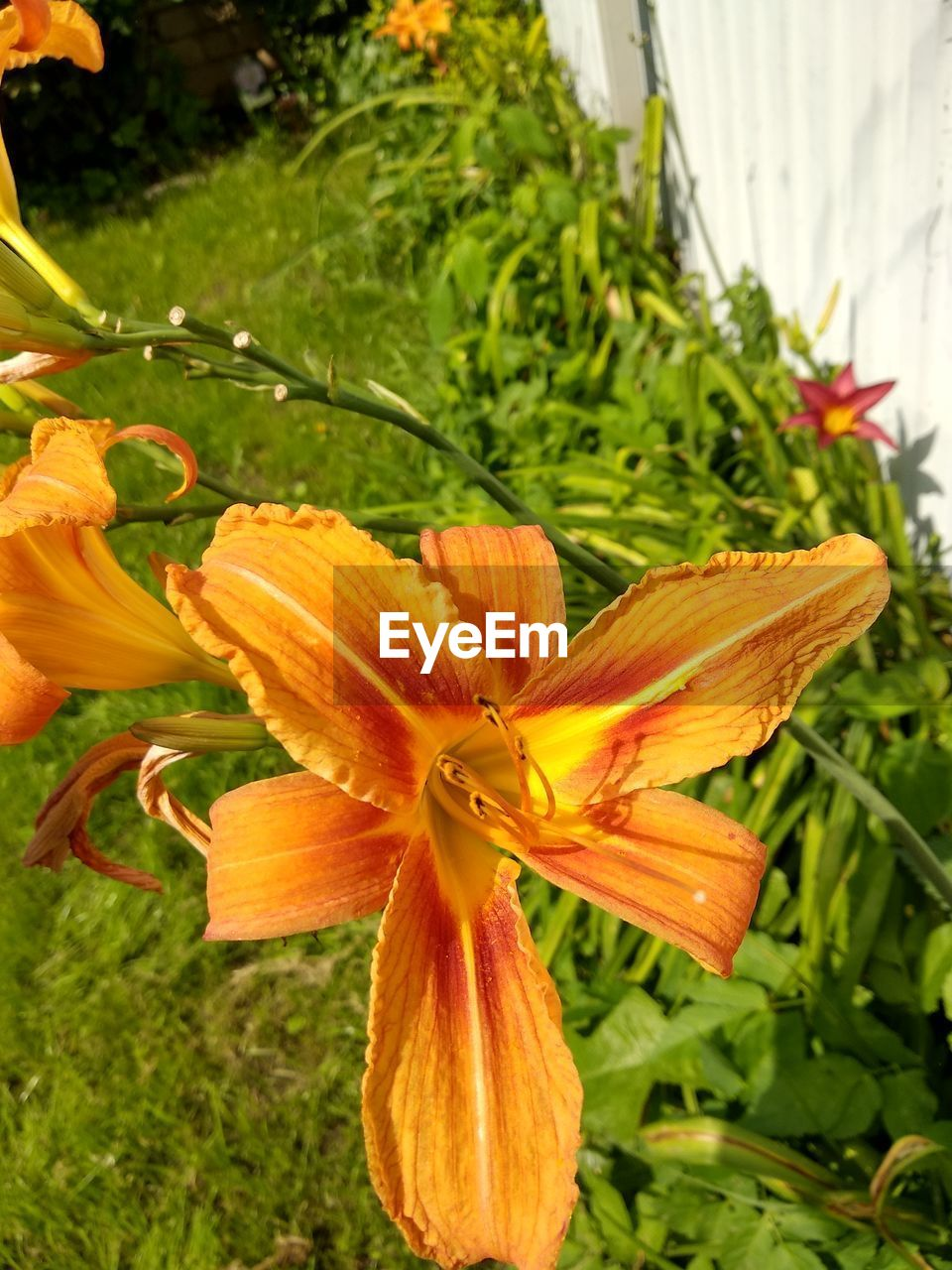 flower, plant, flowering plant, beauty in nature, fragility, freshness, vulnerability, petal, inflorescence, growth, close-up, flower head, pollen, nature, no people, focus on foreground, day lily, lily, day, orange color