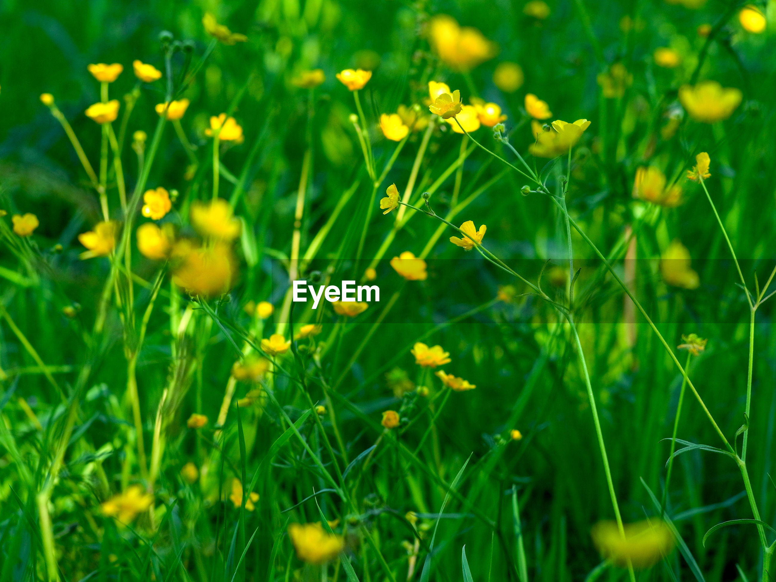 CLOSE-UP OF YELLOW FLOWERING PLANTS GROWING ON FIELD