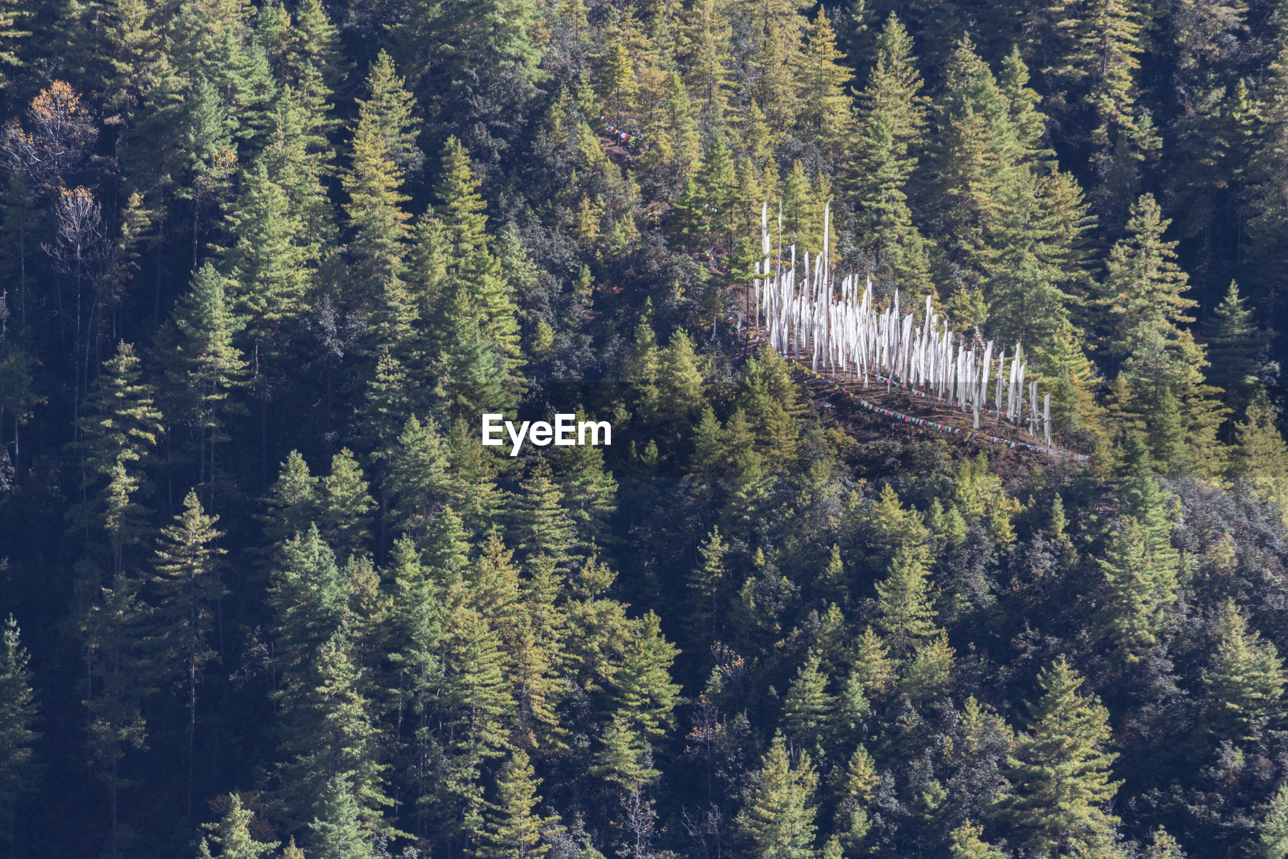 HIGH ANGLE VIEW OF PINE TREES AGAINST MOUNTAIN