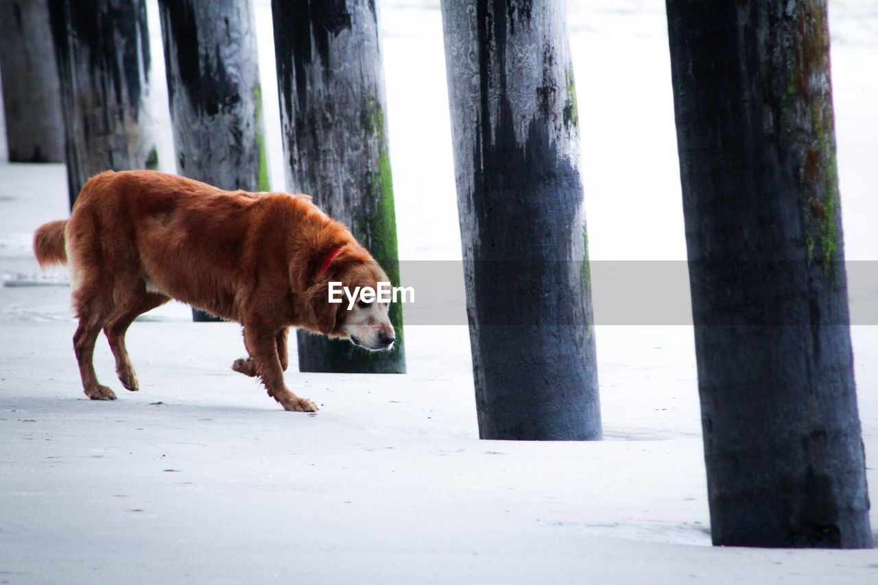 Side View Of Brown Dog Below Pier At Beach