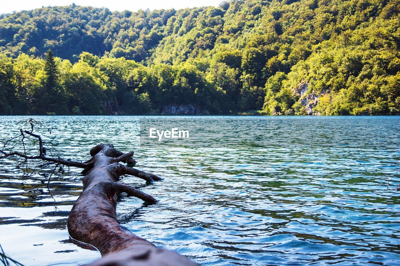 Driftwood In Lake At Plitvice Lakes National Park
