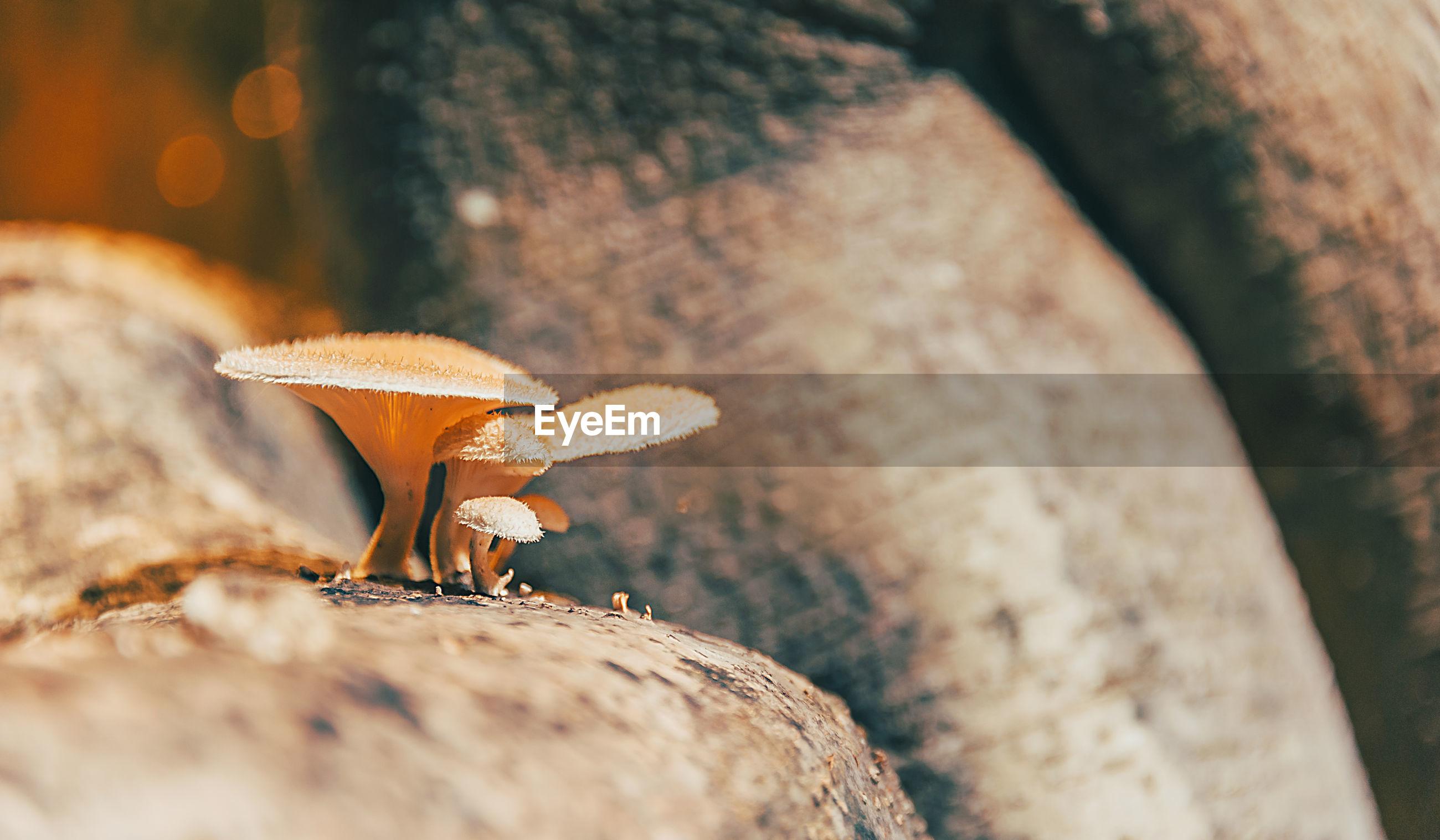 Close-up of mushroom growing on wood