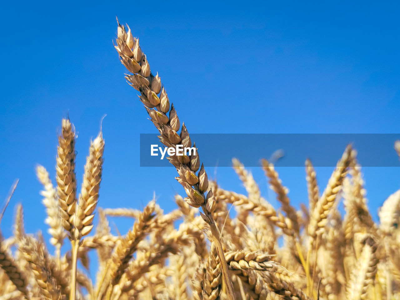 Almost ripe ears of wheat stand out nicely against a steel blue sky