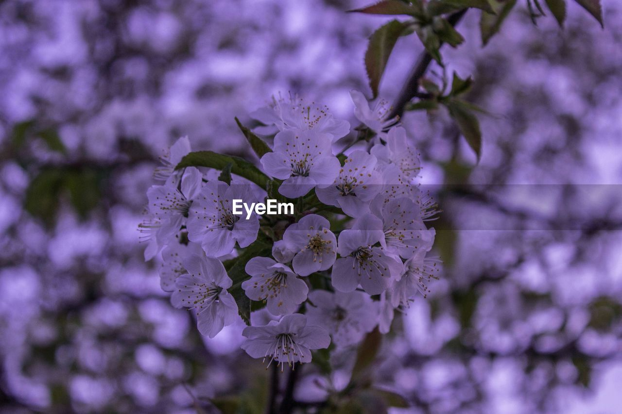 flower, fragility, beauty in nature, nature, purple, blossom, freshness, growth, botany, petal, branch, close-up, no people, springtime, tree, outdoors, blooming, day, lilac, flower head