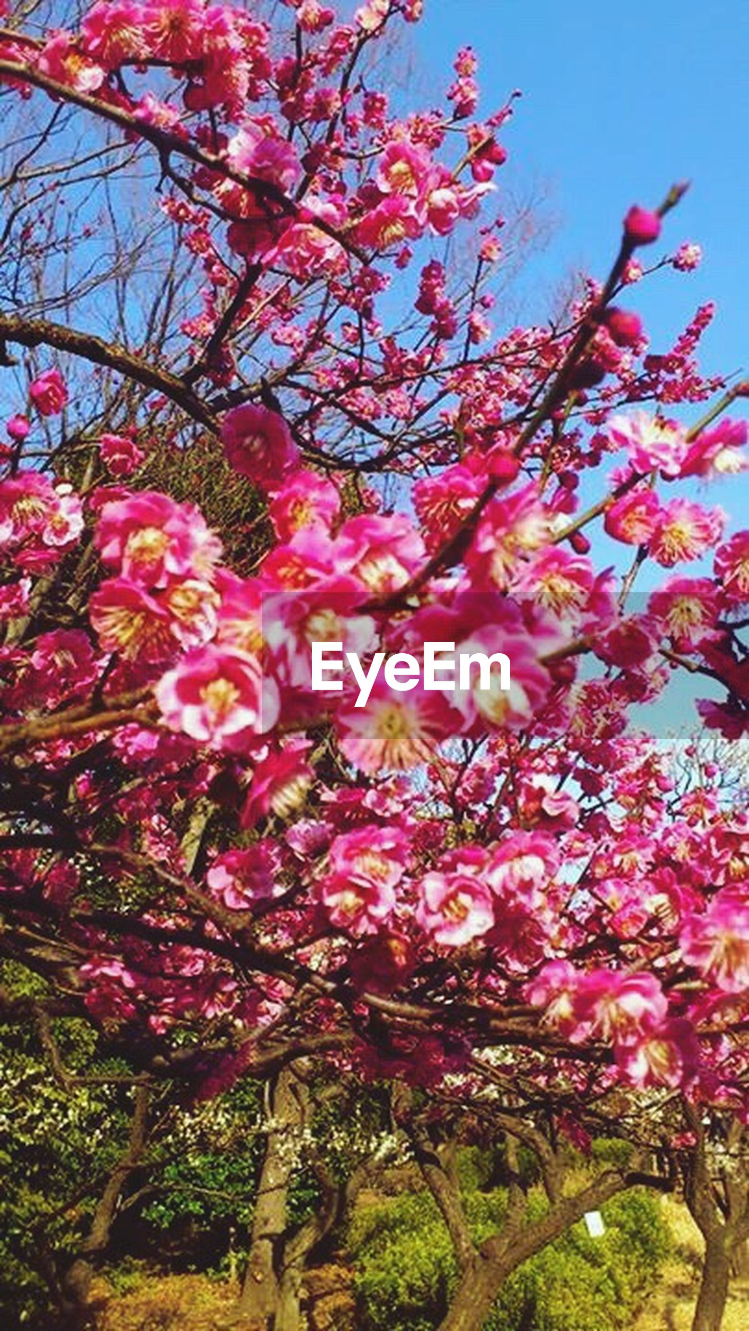 growth, nature, flower, beauty in nature, tree, pink color, freshness, low angle view, springtime, fragility, outdoors, sky, no people, branch, blossom, day, sunlight, flower head, close-up, plum blossom