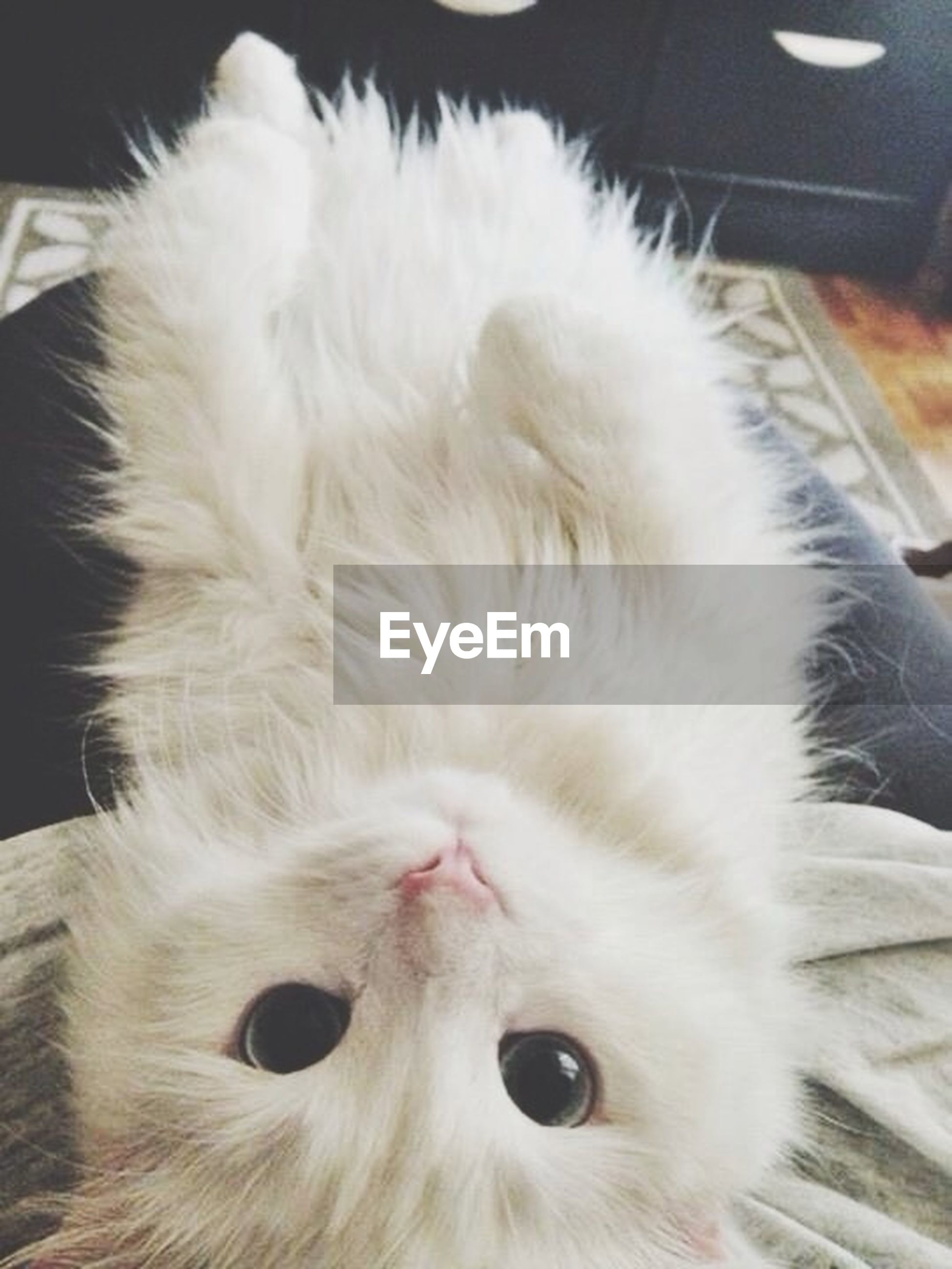 indoors, domestic animals, pets, animal themes, domestic cat, one animal, cat, mammal, feline, close-up, whisker, white color, animal head, relaxation, home interior, animal body part, no people, looking away, home