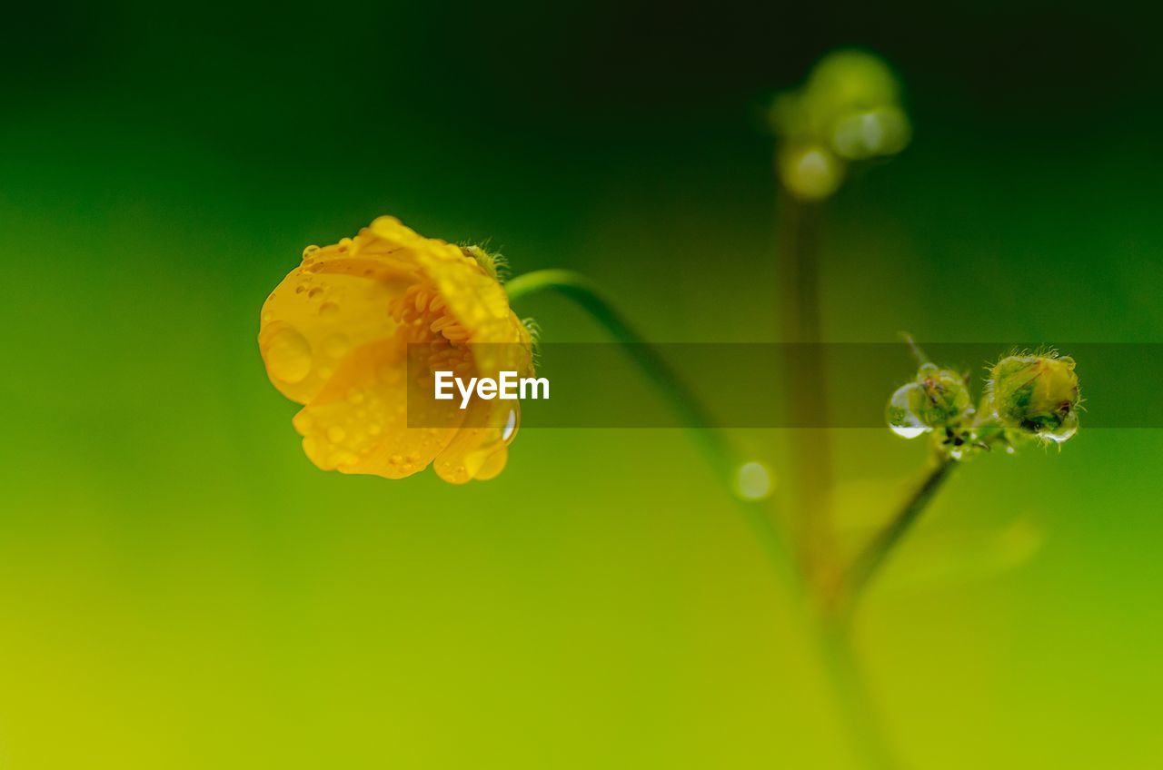 CLOSE-UP OF YELLOW FLOWER WITH DEW DROPS