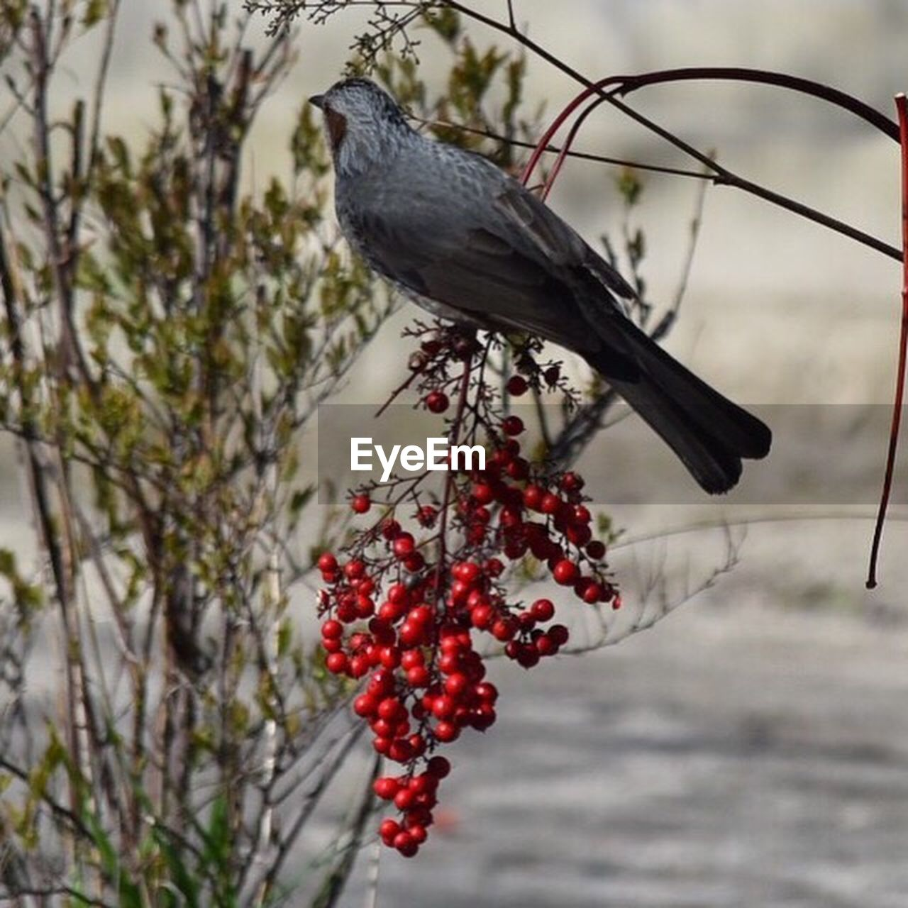 fruit, red, outdoors, day, focus on foreground, tree, one animal, nature, food and drink, animal themes, no people, bird, animals in the wild, branch, perching, close-up, beauty in nature, food, freshness
