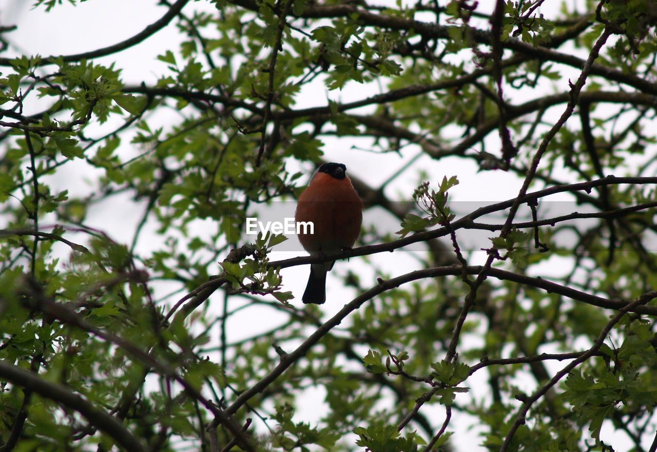 tree, bird, perching, low angle view, branch, animals in the wild, animal themes, one animal, animal wildlife, no people, day, growth, nature, outdoors, beauty in nature, sky