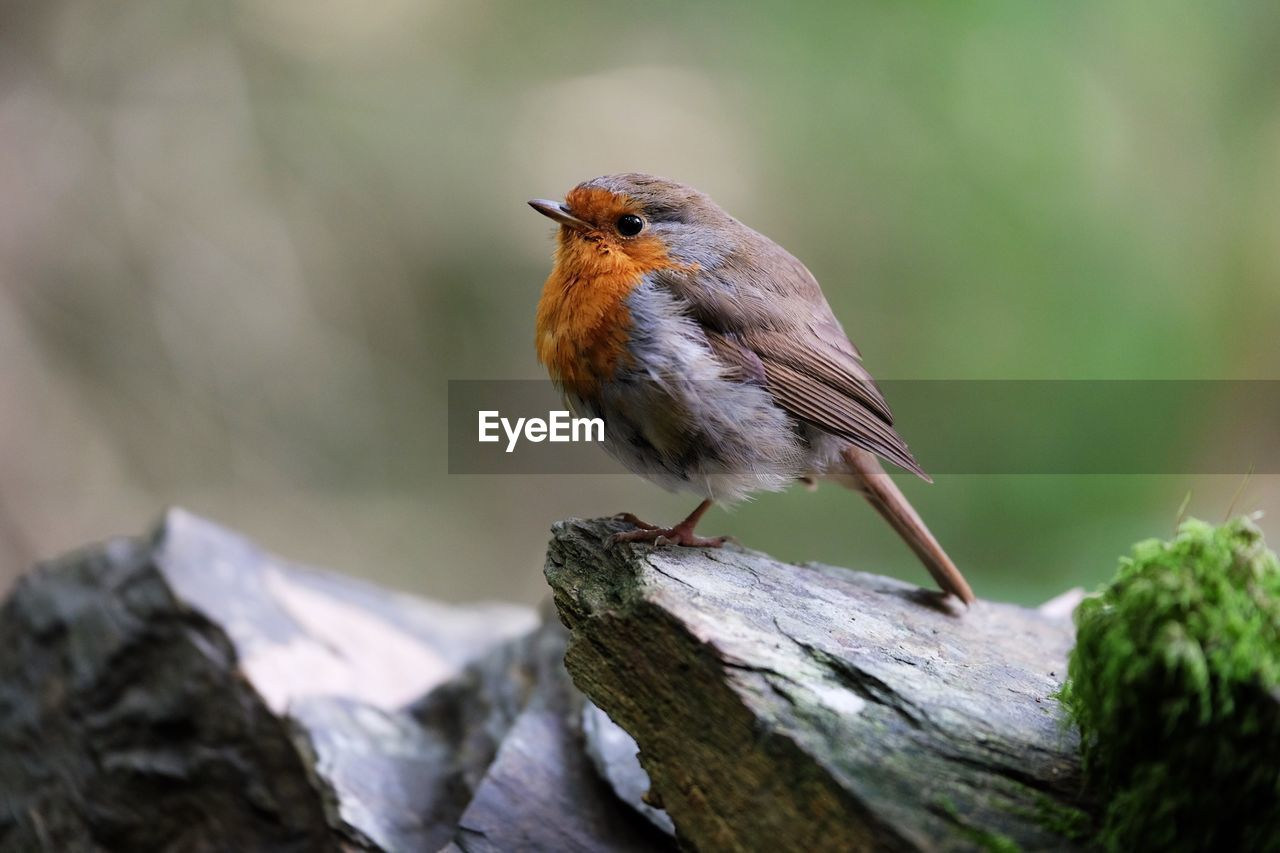 Close-Up Of Robin Perching On Wood