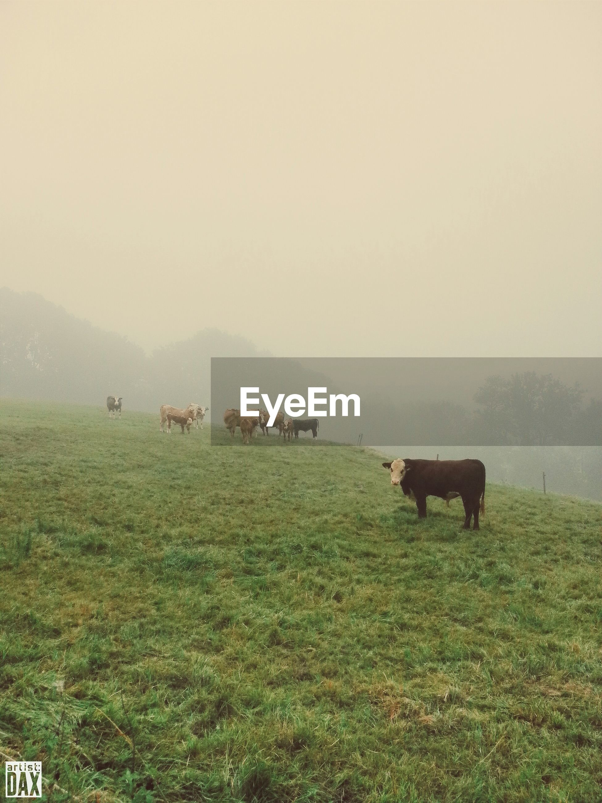 animal themes, domestic animals, mammal, grass, livestock, field, horse, grazing, cow, landscape, fog, grassy, domestic cattle, copy space, nature, herbivorous, tranquility, tranquil scene, beauty in nature