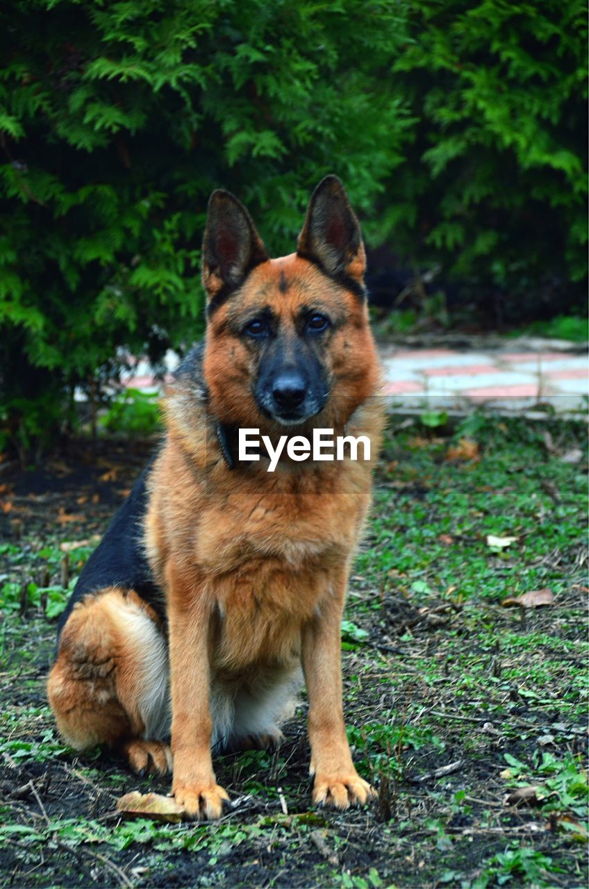 one animal, dog, mammal, canine, animal themes, animal, german shepherd, pets, domestic, domestic animals, land, portrait, looking at camera, plant, nature, field, day, no people, vertebrate, tree, outdoors