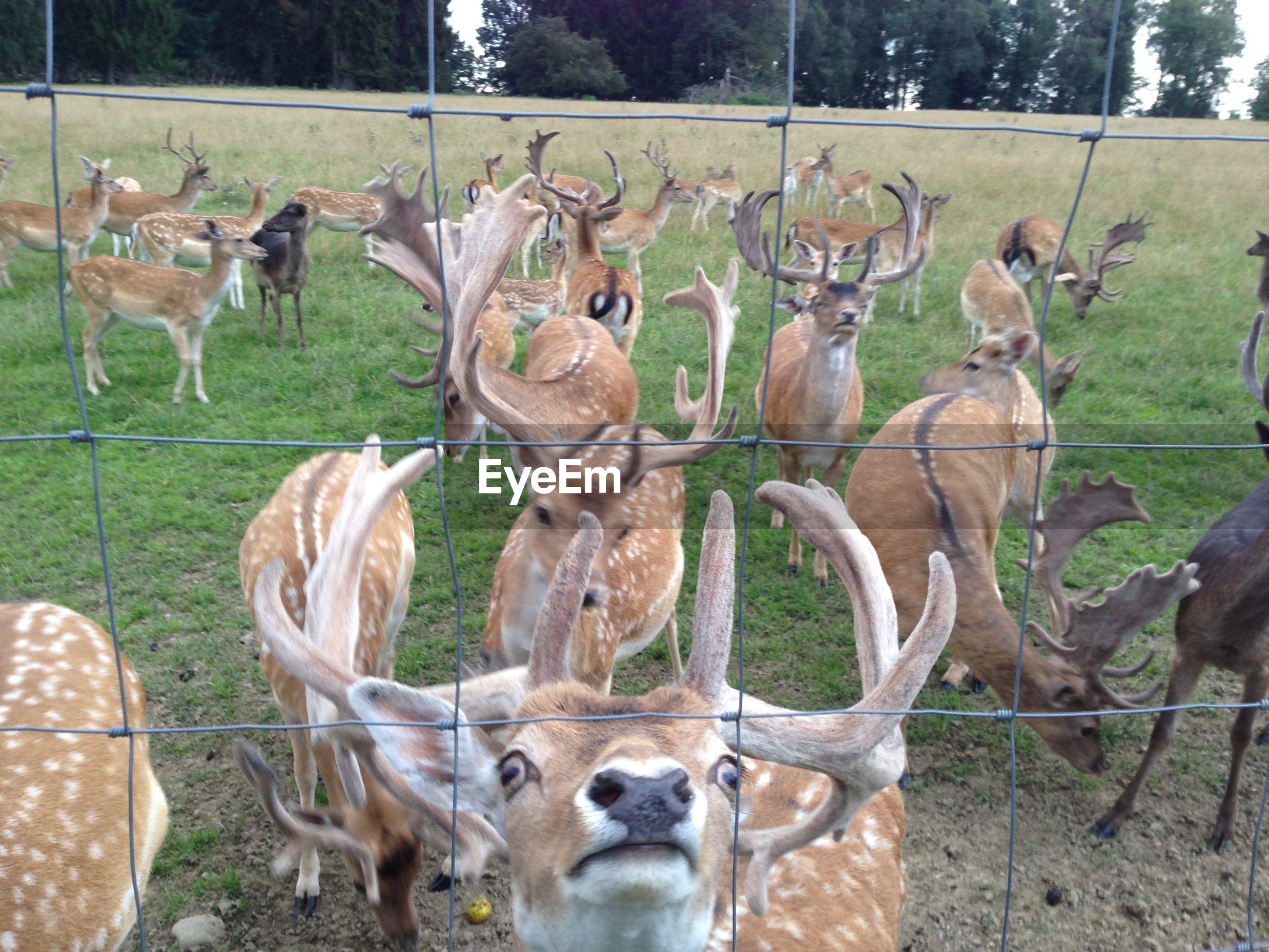 Deer seen through fence