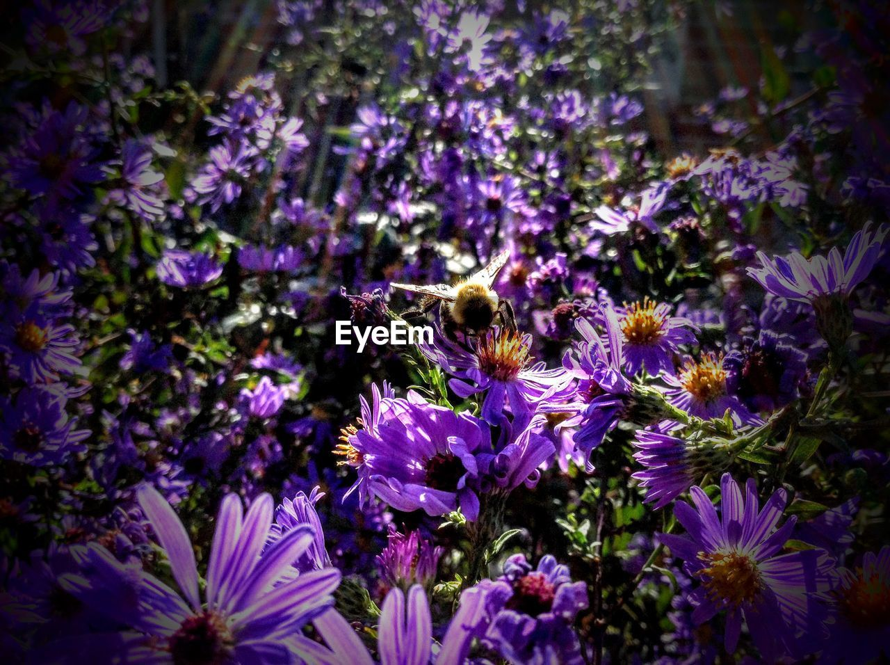 flower, purple, fragility, petal, nature, beauty in nature, growth, freshness, one animal, animal themes, insect, no people, plant, flower head, animals in the wild, day, outdoors, pollination, blooming, bee, close-up