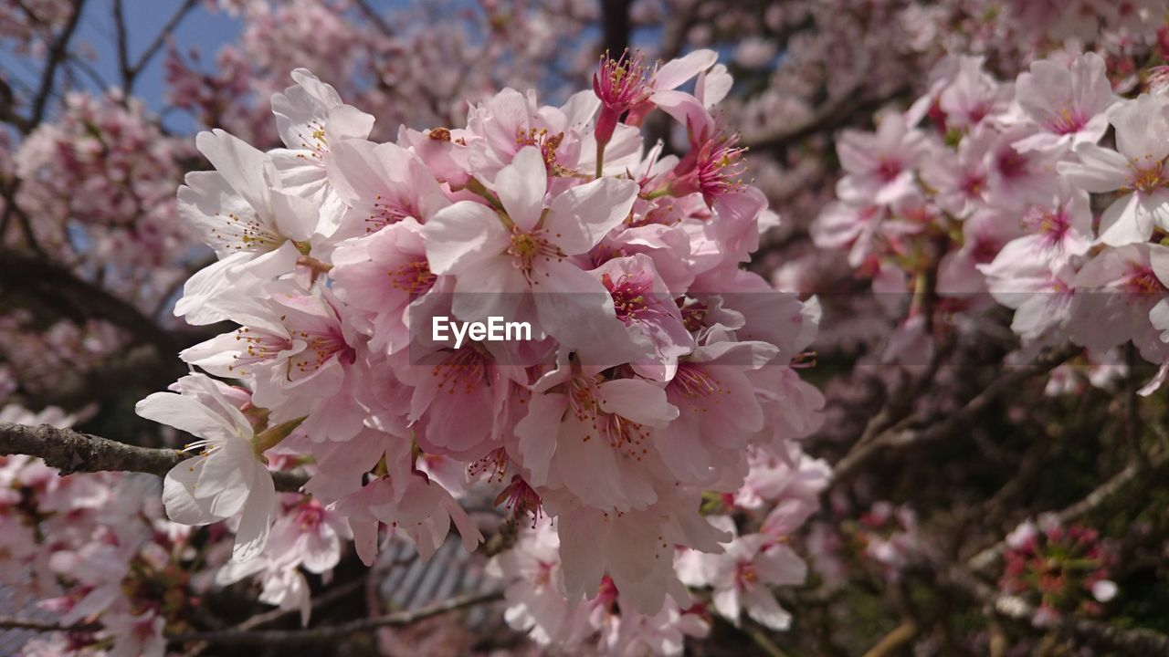 flower, fragility, blossom, cherry blossom, springtime, beauty in nature, freshness, tree, petal, growth, cherry tree, nature, apple blossom, pink color, botany, orchard, white color, flower head, apple tree, branch, stamen, no people, day, twig, close-up, plum blossom, rhododendron, pollen, outdoors, selective focus, blooming