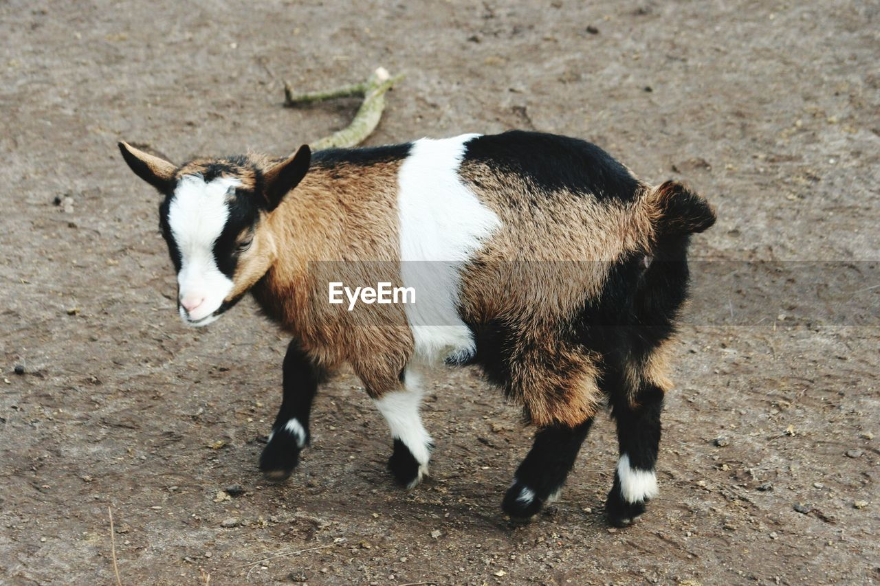 mammal, animal themes, animal, domestic animals, vertebrate, one animal, domestic, pets, standing, land, goat, livestock, kid goat, field, day, sunlight, no people, nature, young animal, high angle view, herbivorous