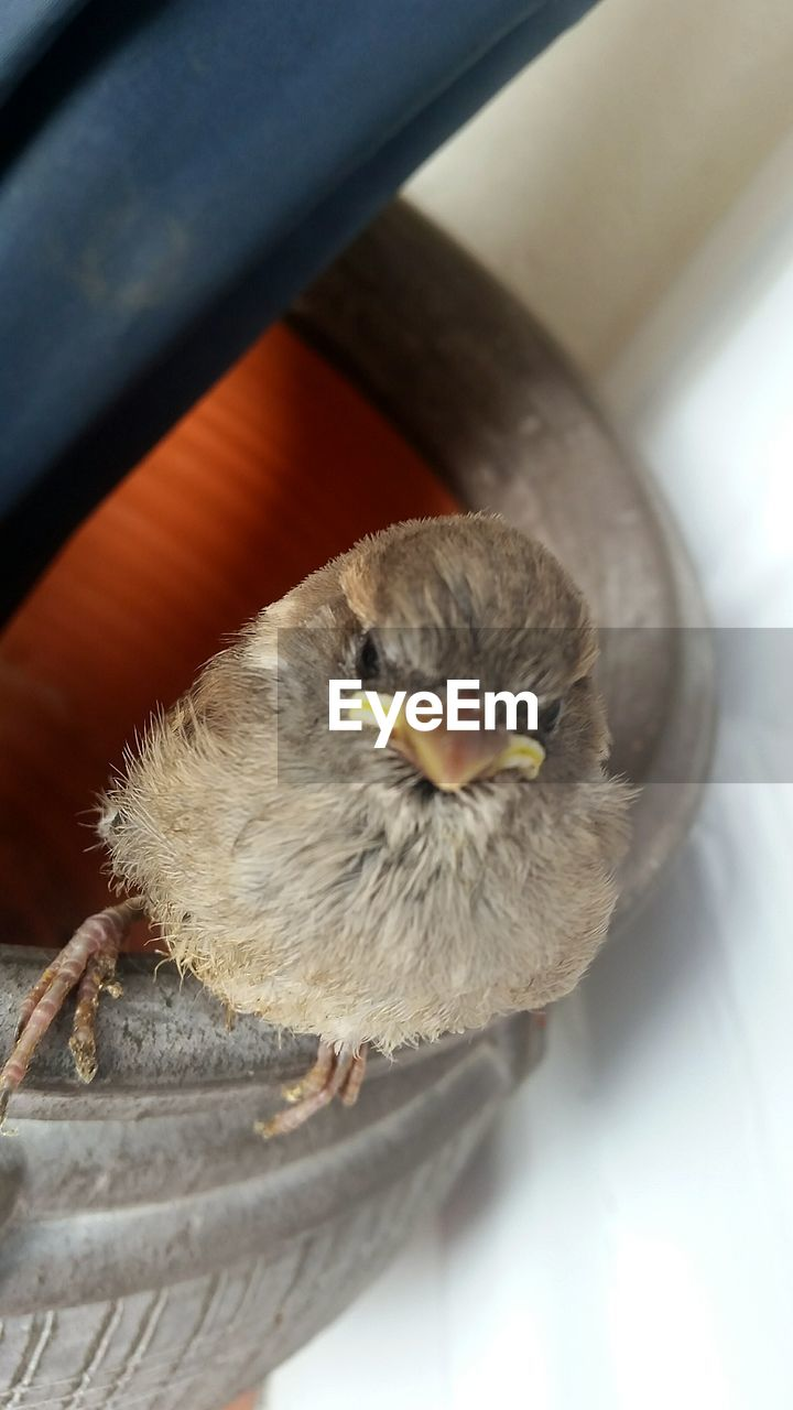 bird, animal themes, one animal, animals in the wild, young bird, animal wildlife, no people, young animal, close-up, day, beak, domestic animals, indoors, sparrow, nature, mammal