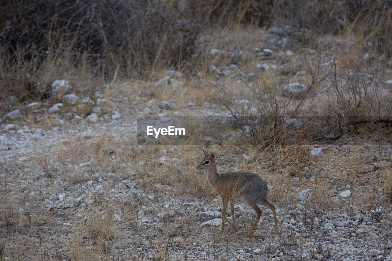 animal themes, animal, animals in the wild, animal wildlife, mammal, one animal, vertebrate, no people, nature, land, day, standing, outdoors, environment, side view, snow, winter, field, arid climate, climate, semi-arid