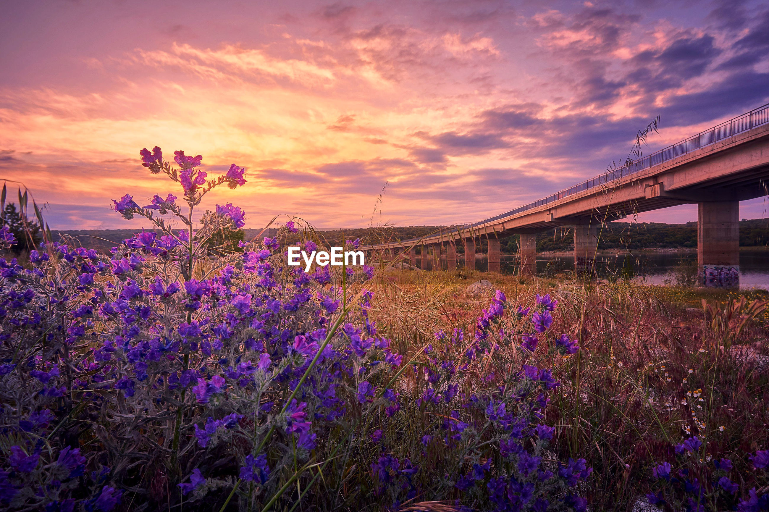 PURPLE FLOWERING PLANTS ON FIELD AGAINST SKY AT SUNSET