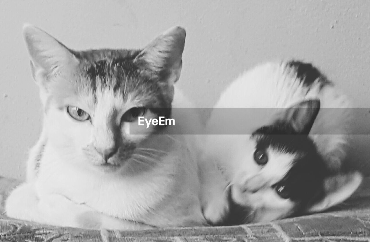 domestic cat, feline, cat, pets, domestic animals, looking at camera, portrait, mammal, animal themes, no people, indoors, close-up, friendship, day