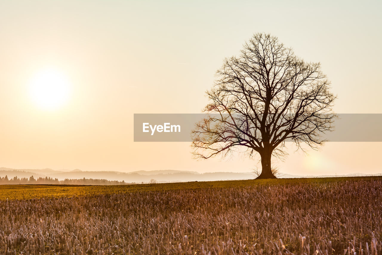 BARE TREE IN FIELD DURING SUNSET