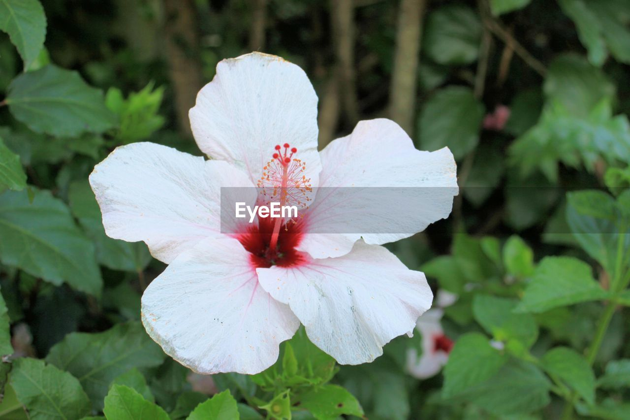 flowering plant, flower, plant, petal, beauty in nature, fragility, vulnerability, inflorescence, growth, flower head, freshness, close-up, focus on foreground, white color, hibiscus, nature, day, no people, botany, pollen, outdoors, softness