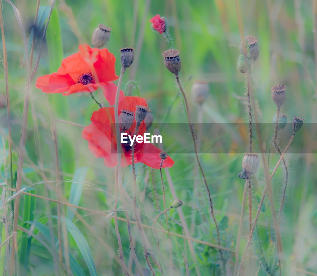 flower, plant, growth, nature, poppy, no people, day, red, field, fragility, outdoors, close-up, beauty in nature, grass, animal themes, animals in the wild, flower head, ladybug, freshness