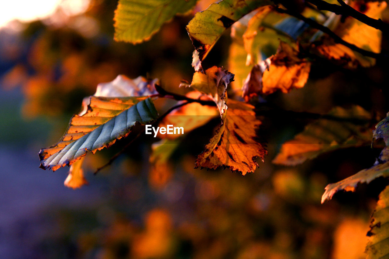 plant part, leaf, autumn, close-up, plant, beauty in nature, focus on foreground, growth, day, nature, change, no people, tree, leaves, selective focus, outdoors, vulnerability, branch, fragility, orange color, maple leaf, natural condition, autumn collection