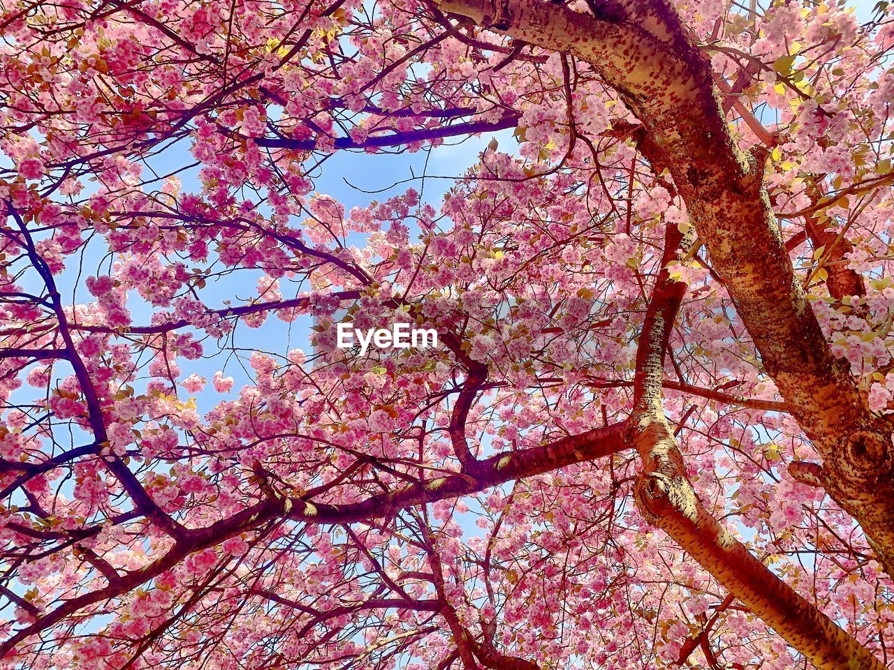 tree, plant, branch, low angle view, flower, flowering plant, springtime, beauty in nature, pink color, blossom, nature, growth, no people, fragility, day, autumn, sky, change, freshness, tree trunk, cherry blossom, outdoors, cherry tree, spring, tree canopy