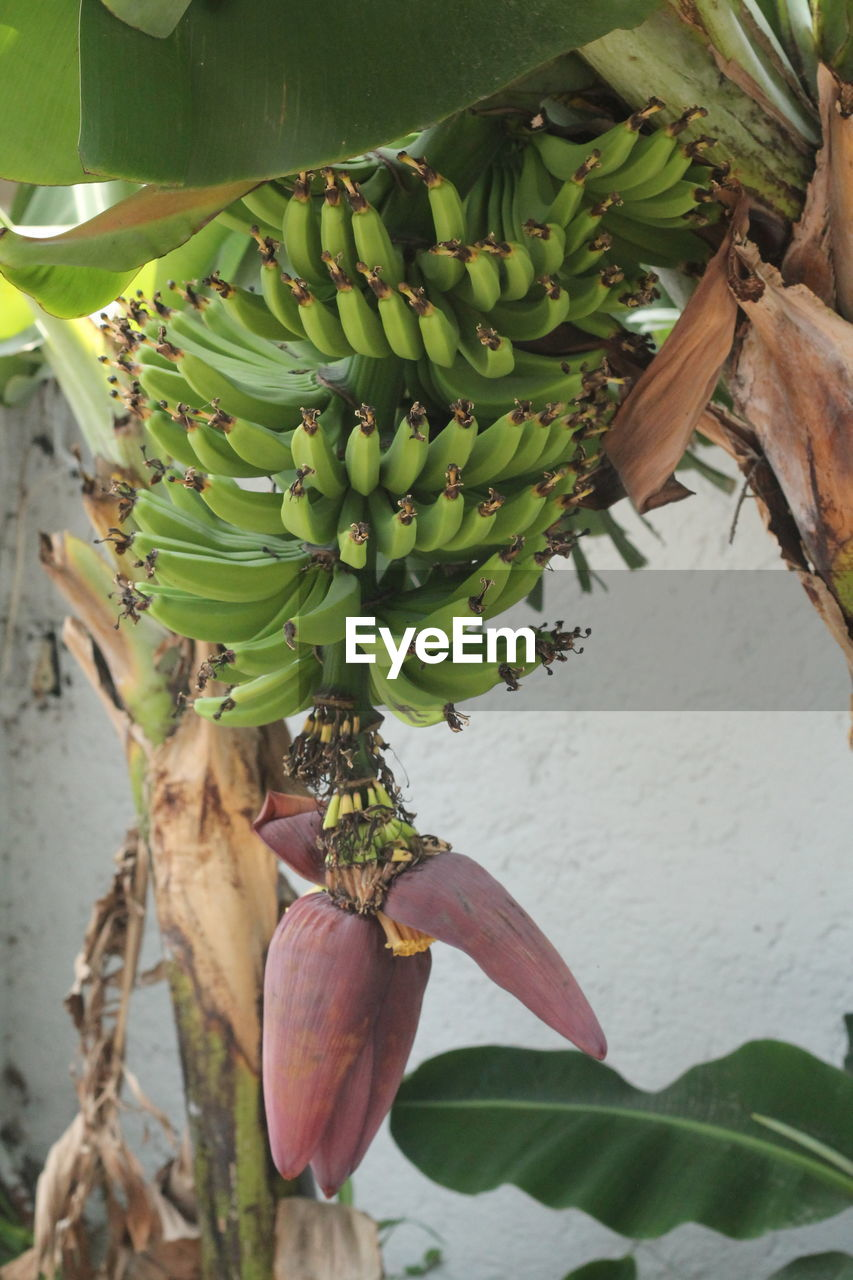 plant, growth, food and drink, freshness, fruit, leaf, healthy eating, plant part, banana, green color, food, no people, close-up, banana tree, day, beauty in nature, nature, wellbeing, tropical fruit, tree, outdoors, unripe, leaves, ripe