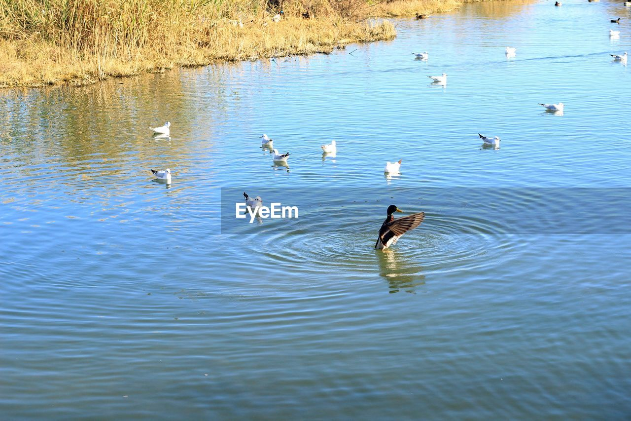 animals in the wild, animal themes, water, lake, bird, nature, waterfront, animal wildlife, no people, swimming, large group of animals, day, outdoors, rippled, water bird, beauty in nature, swan, flying