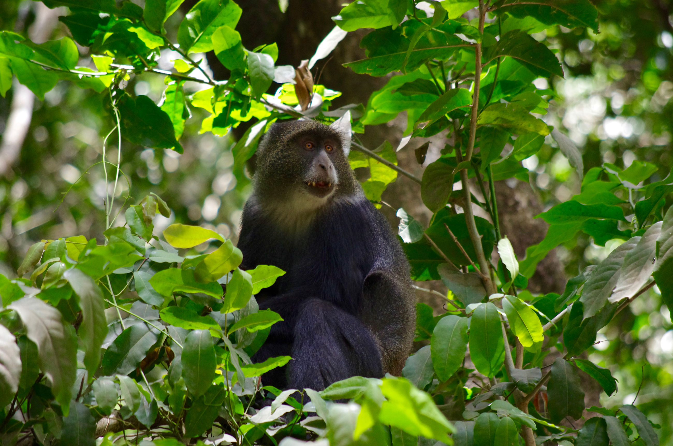 animal themes, animal, animal wildlife, primate, mammal, plant part, monkey, leaf, animals in the wild, one animal, vertebrate, plant, tree, nature, green color, no people, day, sitting, forest, land, outdoors