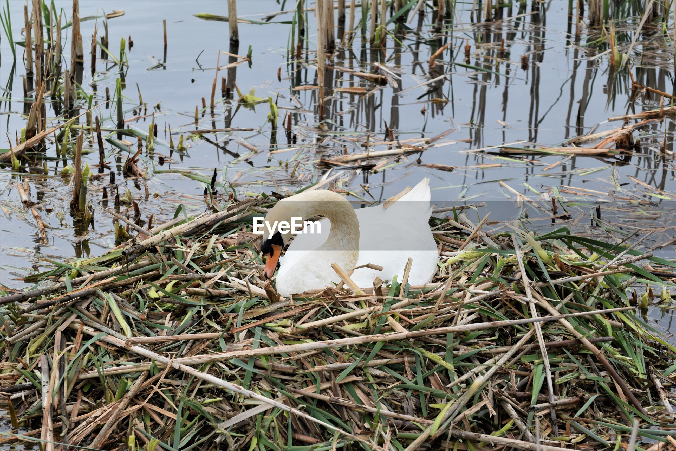 Swan nesting on lake