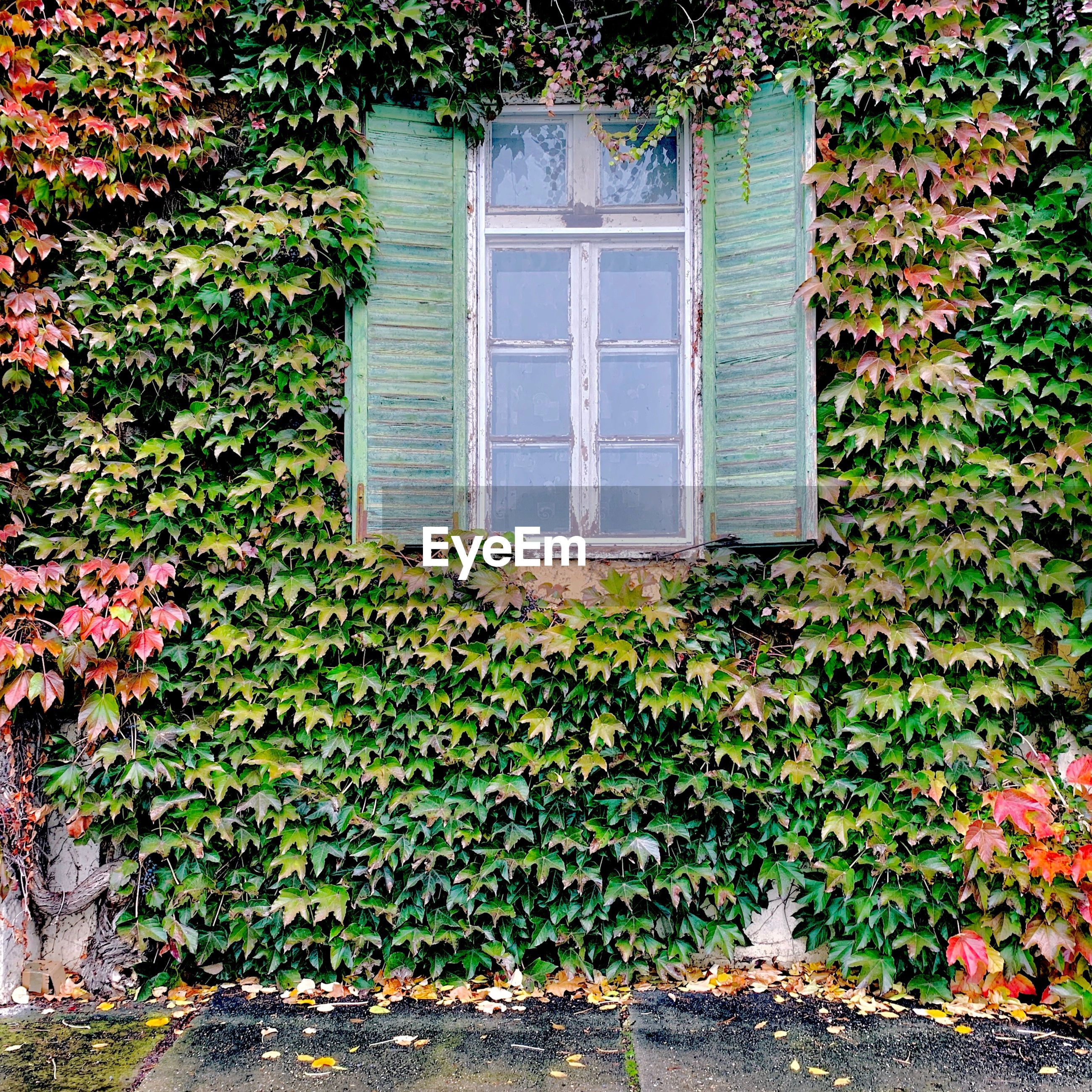 IVY GROWING ON BUILDING WALL