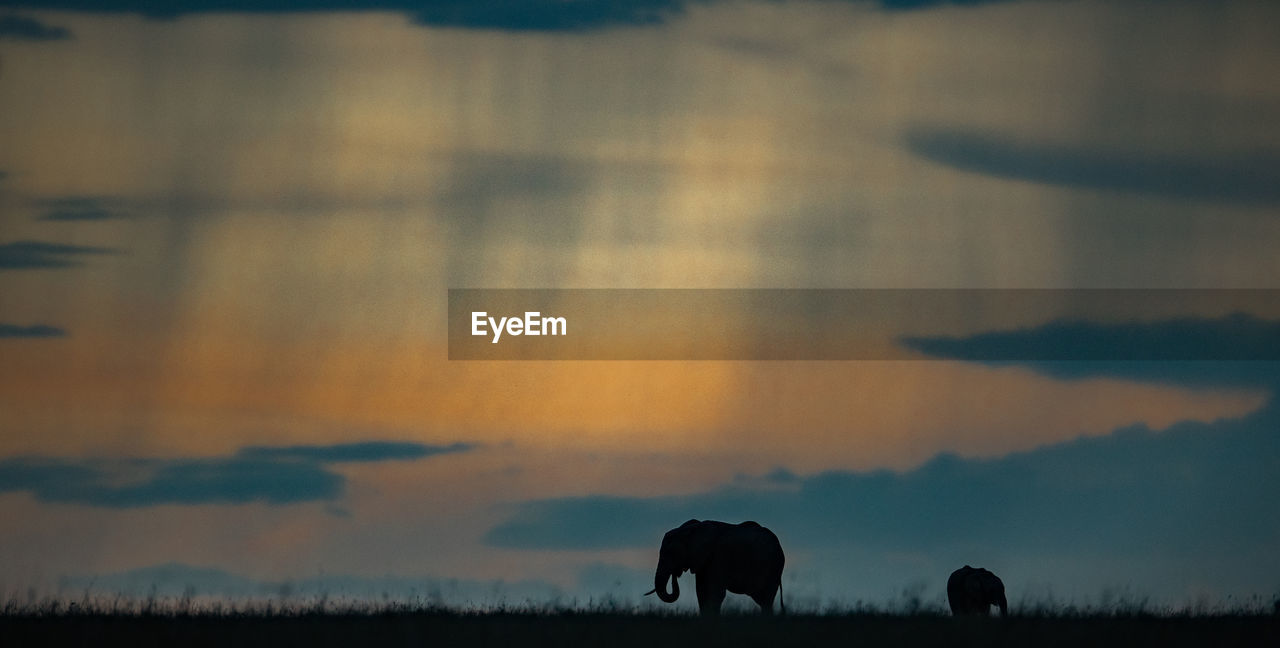 Silhouette elephants on field against sky during sunset
