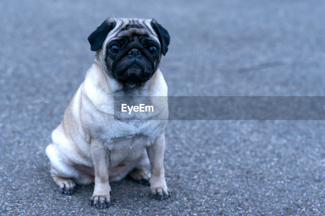 one animal, mammal, dog, canine, pug, lap dog, pets, domestic, domestic animals, portrait, small, sitting, looking at camera, no people, full length, young animal, vertebrate
