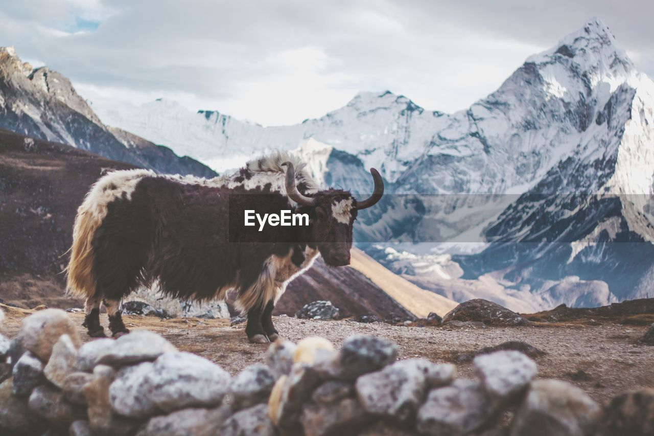 mountain, animal, animal themes, mammal, domestic animals, mountain range, one animal, vertebrate, pets, livestock, domestic, sky, nature, scenics - nature, beauty in nature, snow, cold temperature, landscape, day, no people, snowcapped mountain, outdoors, herbivorous